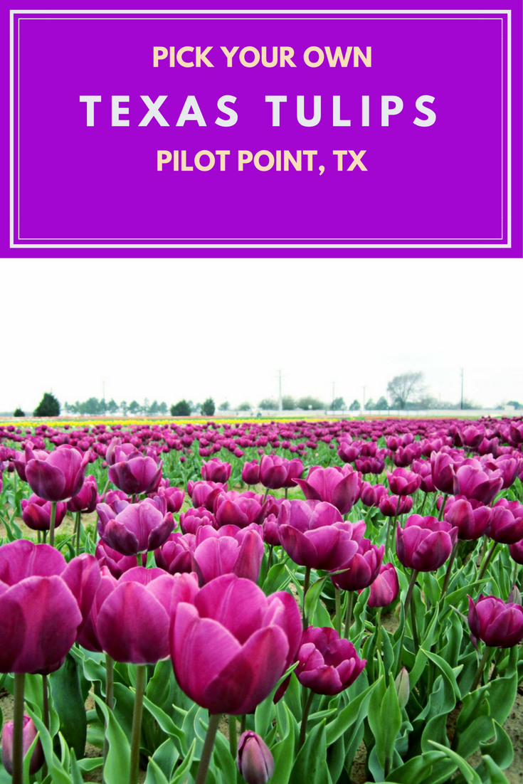 Texas Tulips at Pilot Point Texas-girlinchief