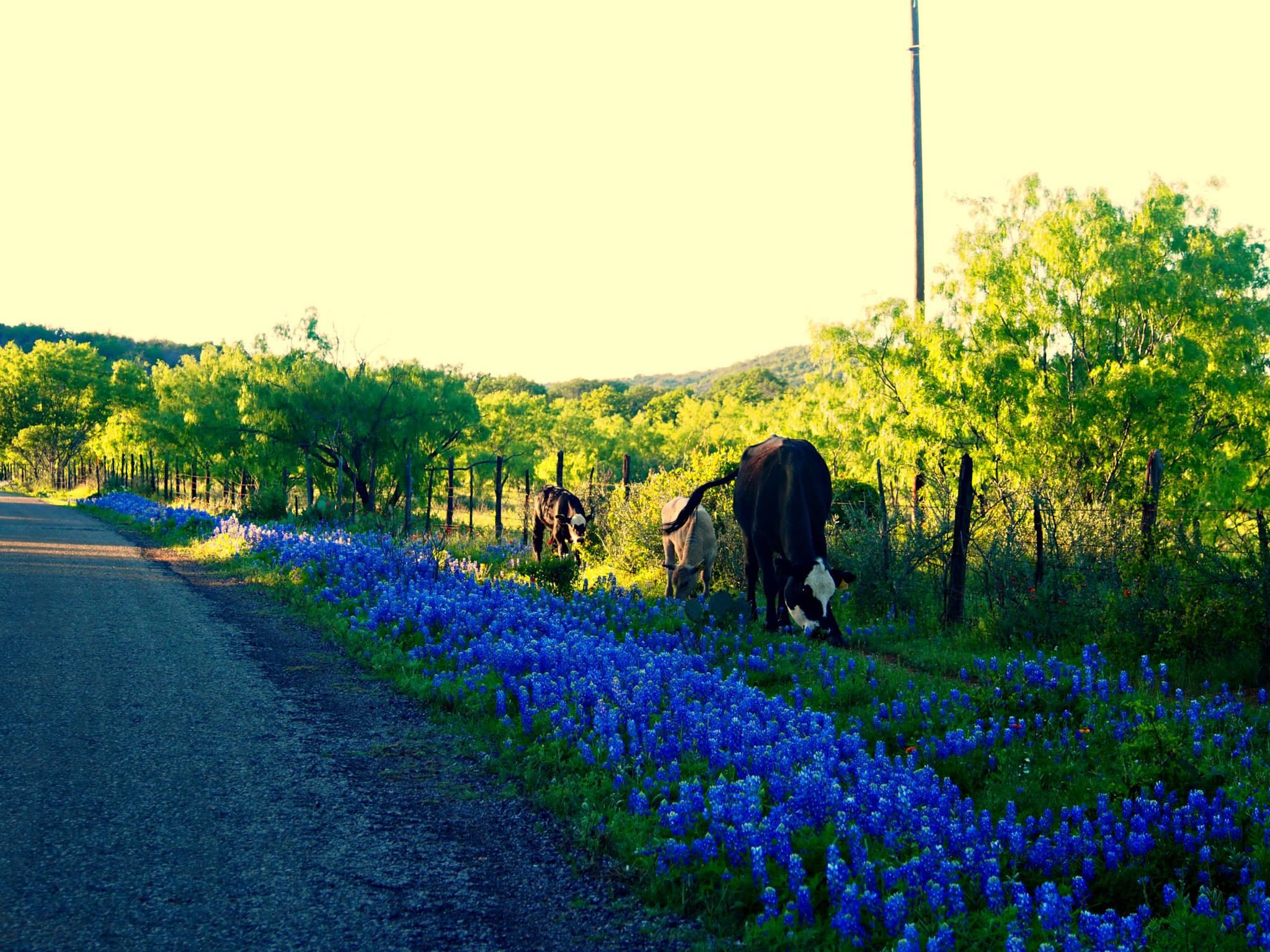 bluebonnets-cows-texas