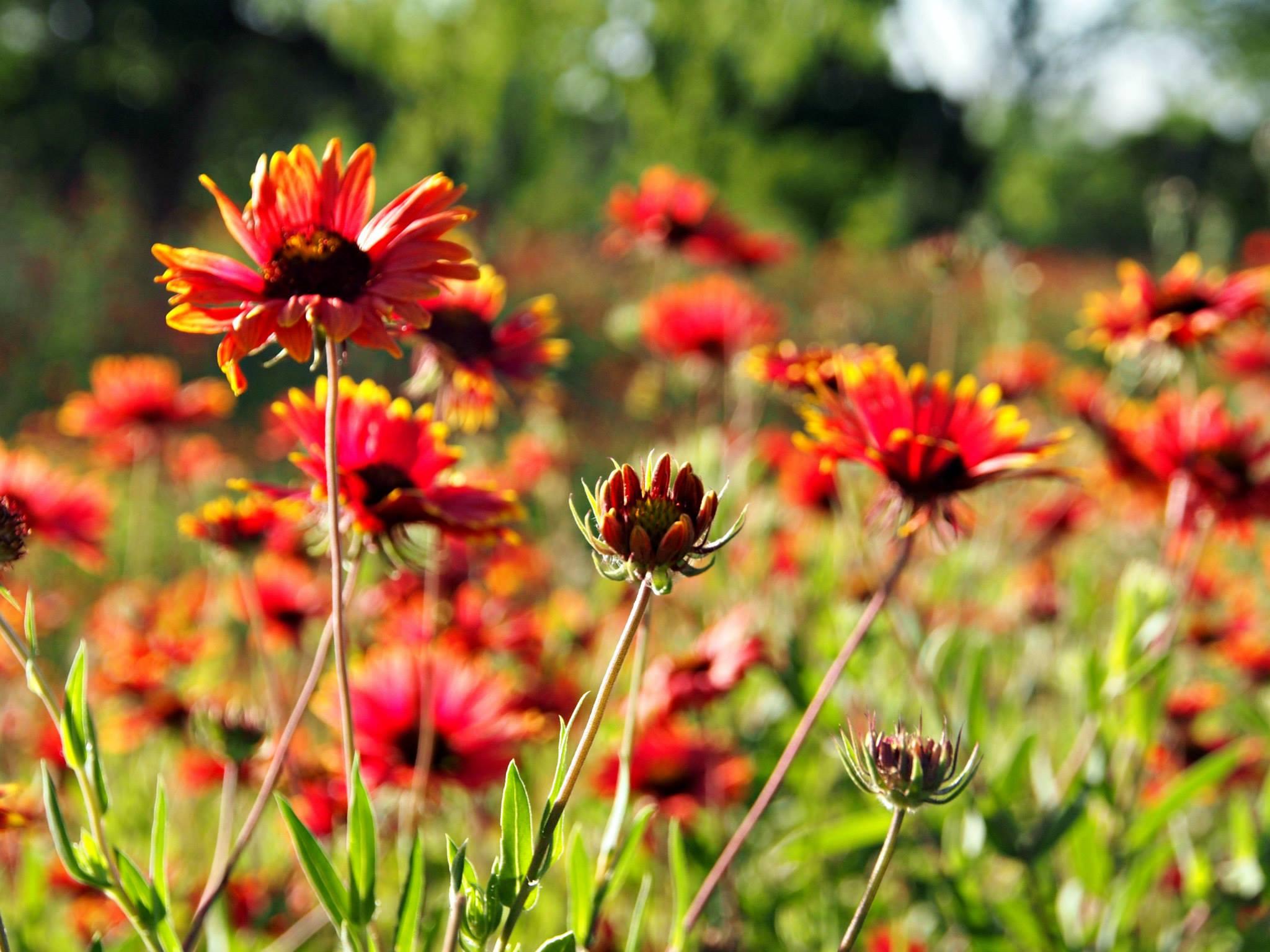 texas-wildflowers-4