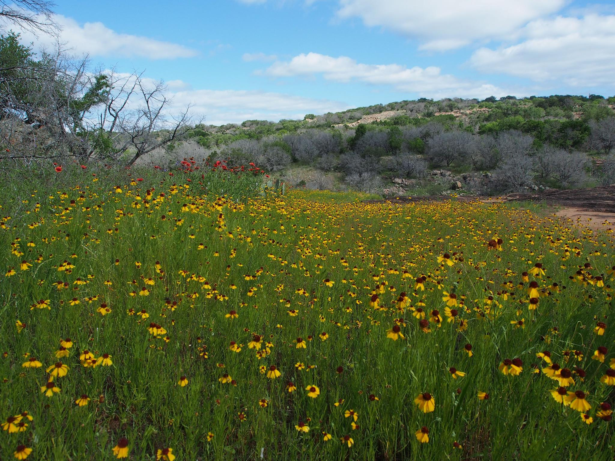 wildflowers-inks-lake-state-park
