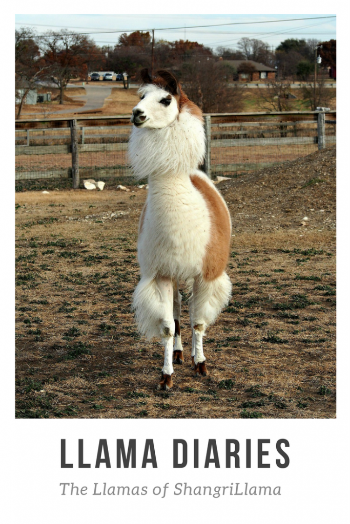 Must-do in Dallas: Llamas of ShangriLlama