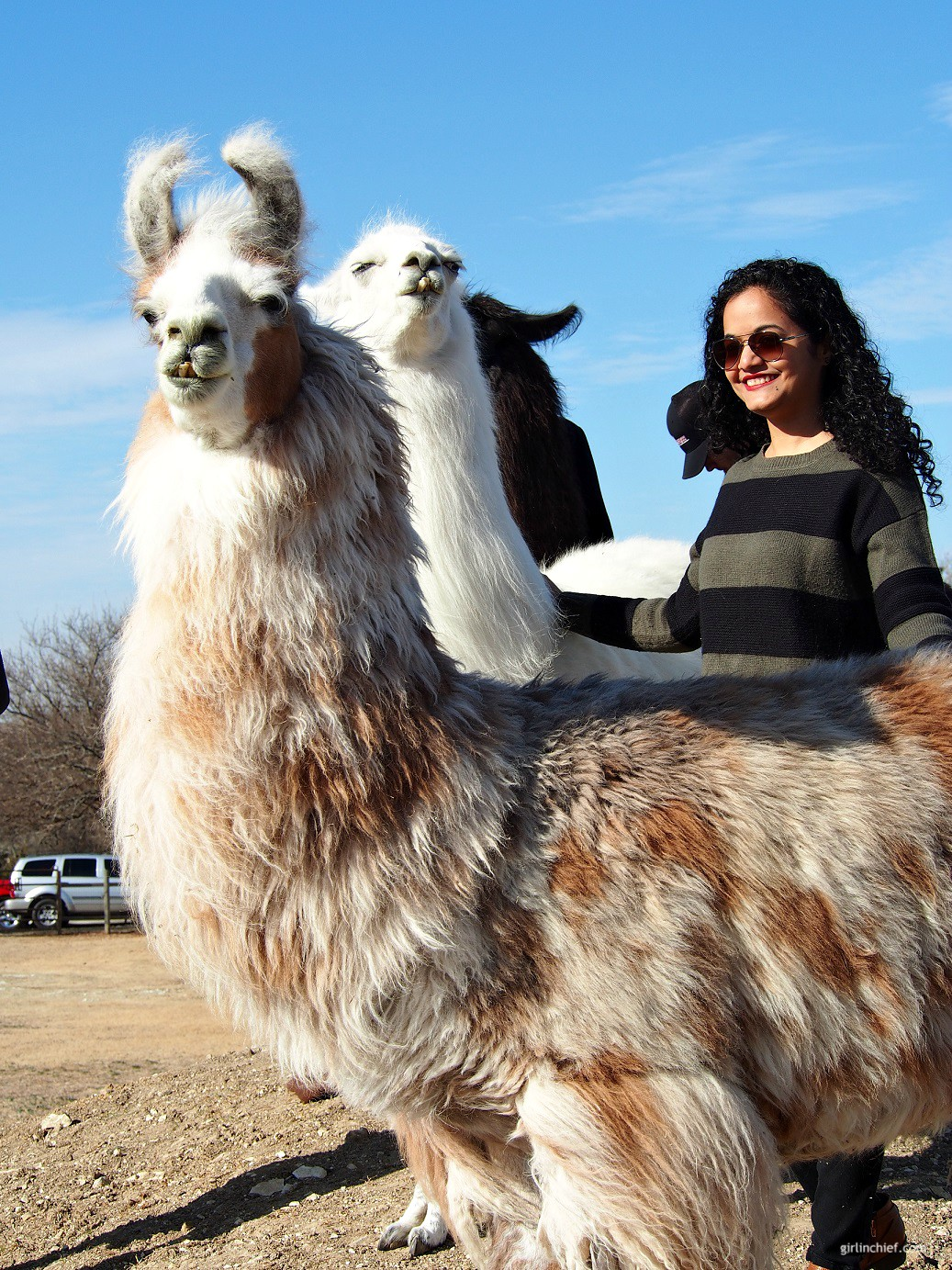Must-do in Dallas: Llama Lessons at ShangriLlama