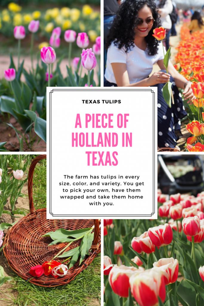 Texas Tulips: A Piece of Holland in Texas #texastulips #springblooms #tulips #tulipfield #visittexas #thingstodo #dallas